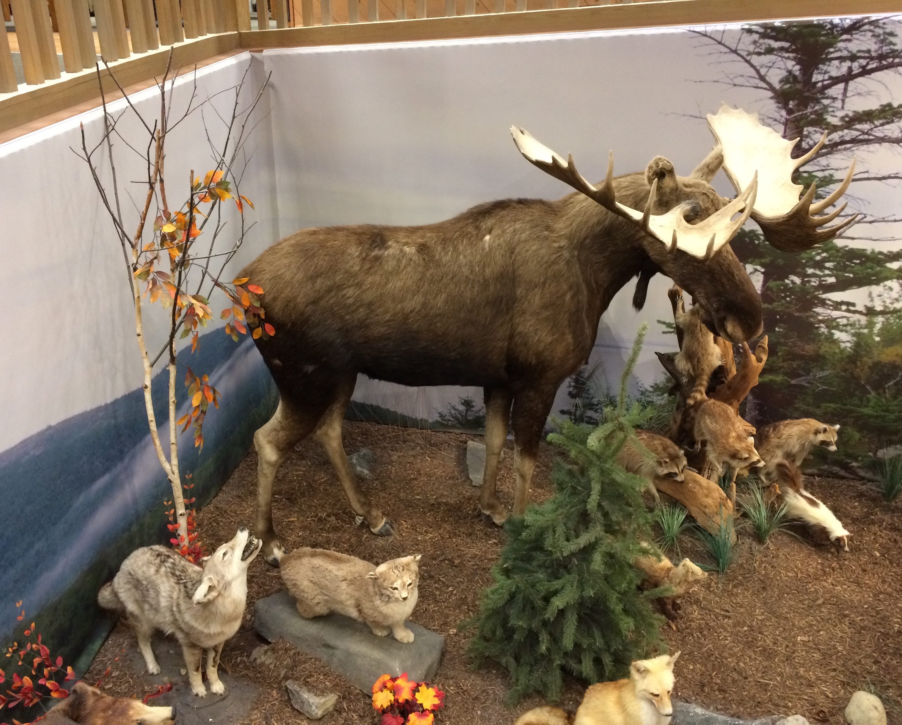 L.L. Bean diorama with moose