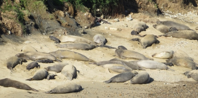 The Drakes Bay elephant seal colony